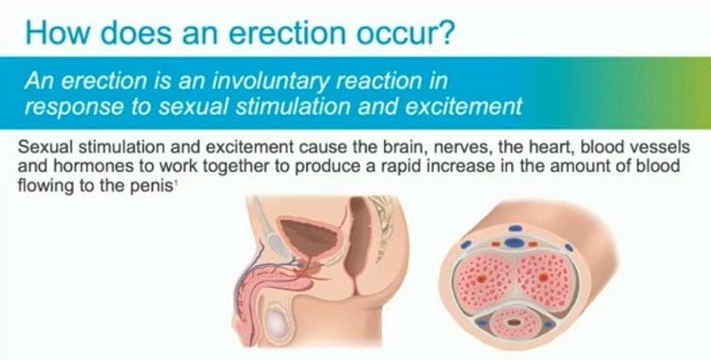 how erection develops